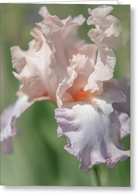 Iris Celebration Song. The Beauty Of Irises Greeting Card by Jenny Rainbow