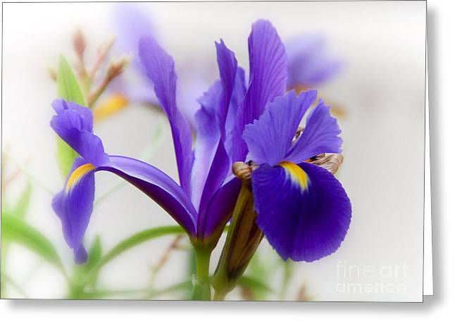 Greeting Card featuring the photograph Spring Iris by Elaine Manley