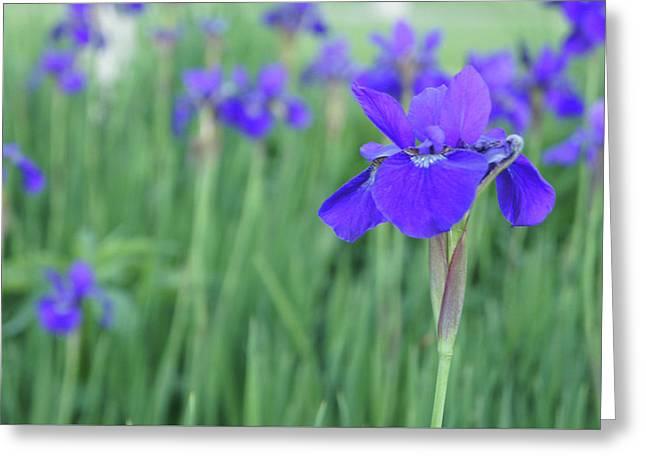 Iris Flower Greeting Card by Art Spectrum