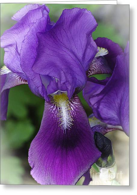 Iris In The Mist Greeting Card by Christine Belt