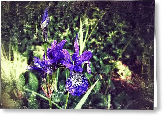 Iris In The Sunshine  Greeting Card by Kathleen Alhaug
