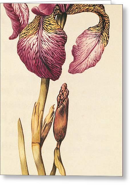 Iris Greeting Card by Nicolas Robert