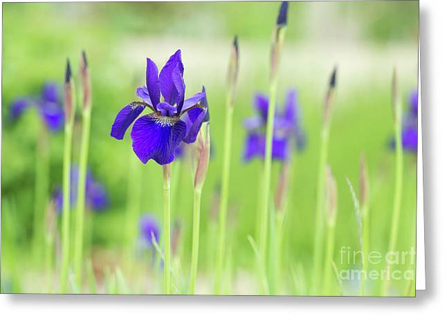 Iris Sibirica Caesars Brother Greeting Card by Tim Gainey