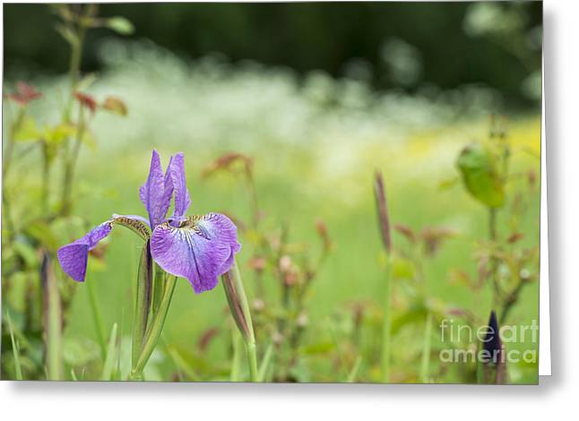 Iris Sibirica Sparkling Rose Greeting Card by Tim Gainey