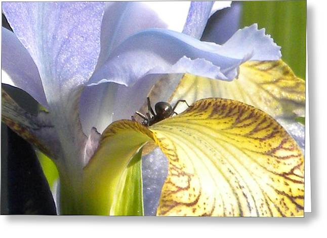 Iris Spider Greeting Card by Karen Moulder