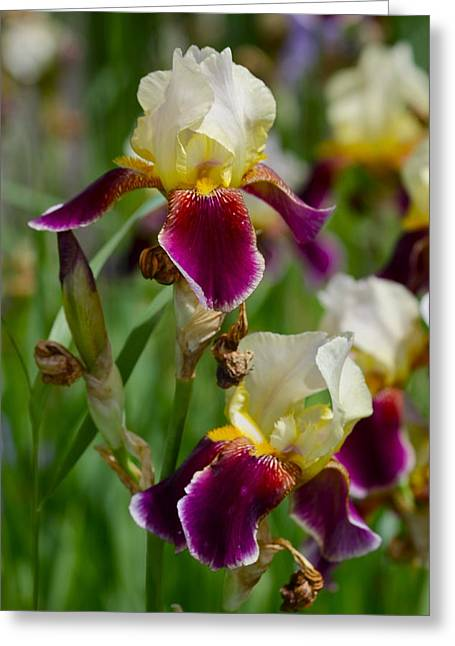 Iris Spring Greeting Card by Karon Melillo DeVega