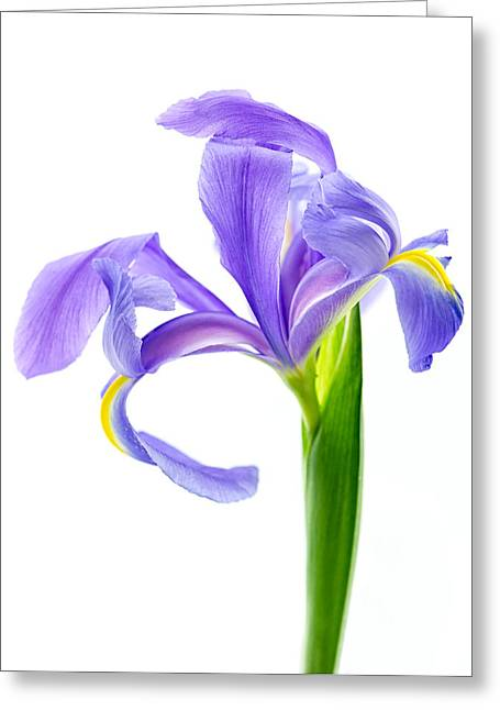 Iris Take A Bow Greeting Card