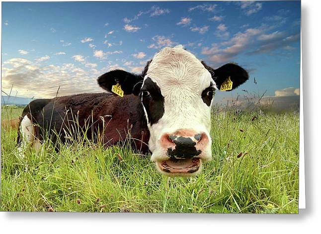 Irish Talking Cow Greeting Card
