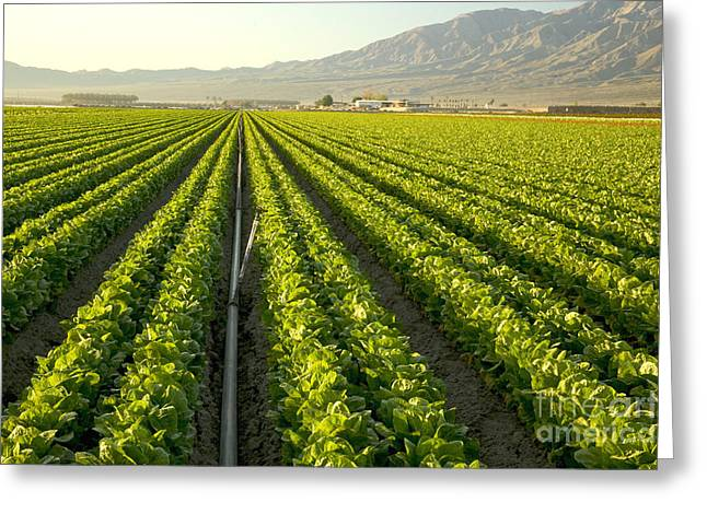 Irrigation Pipe In A Lettuce Field Greeting Card by Inga Spence