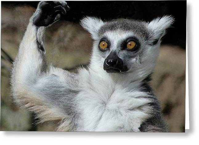 Is It Really That High - Ring-tailed Lemur Greeting Card