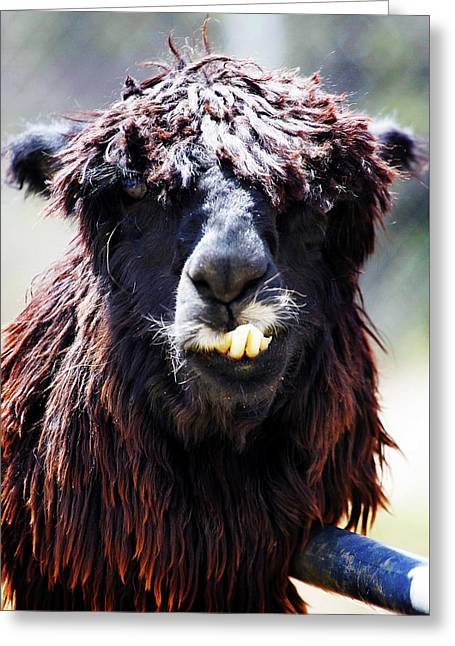 Greeting Card featuring the photograph Is Your Mama A Llama? by Anthony Jones