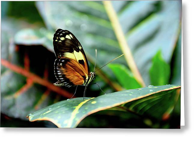 Ismenius Tiger Butterfly-2 Greeting Card