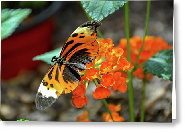 Ismenius Tiger Butterfly Greeting Card
