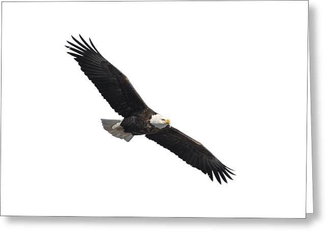 Isolated American Bald Eagle 2016-2 Greeting Card