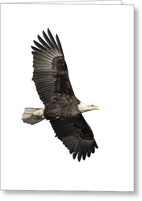 Isolated American Bald Eagle 2016-4 Greeting Card