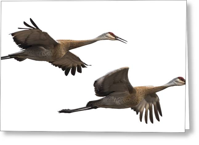 Isolated Sandhill Cranes 2016-1 Greeting Card