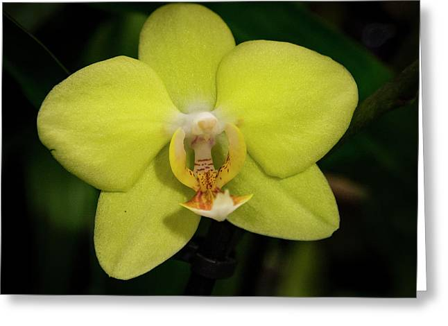 Isolated Yellow Orchid Greeting Card by Jean Noren