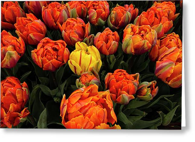 Isolated Yellow Tulip Greeting Card