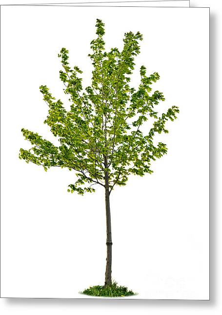 Isolated Young Maple Tree Greeting Card