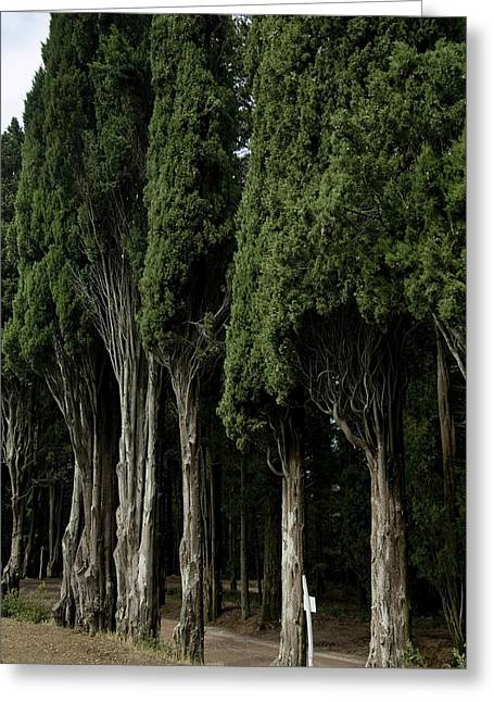 Italian Cypress Trees Line A Road Greeting Card by Todd Gipstein