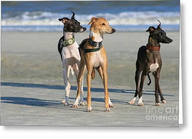 Italian Greyhounds On The Beach Greeting Card