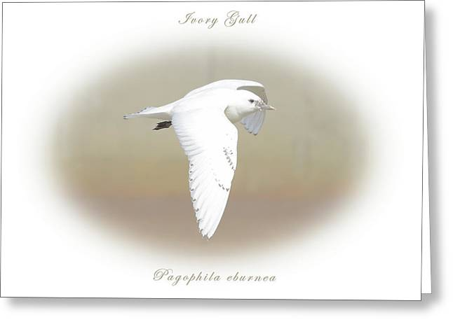 Ivory Gull Greeting Card