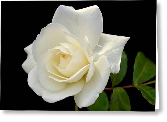 Ivory Rose. Greeting Card