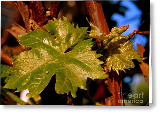 Ivy Leaf Greeting Card by Michael Canning