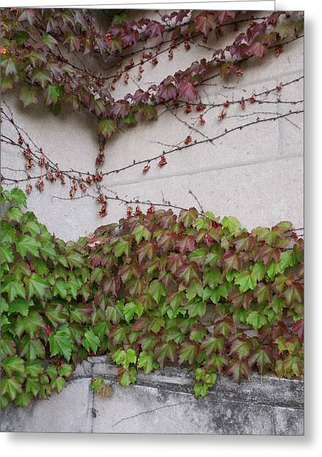 Ivy Wall IIi Greeting Card