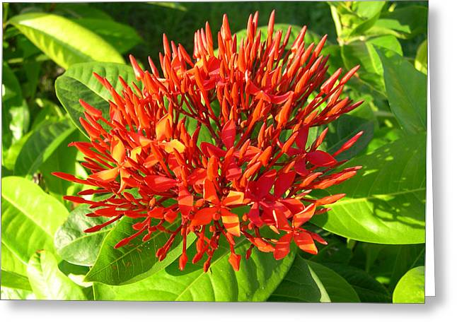 Ixora Greeting Card by Addie Hocynec