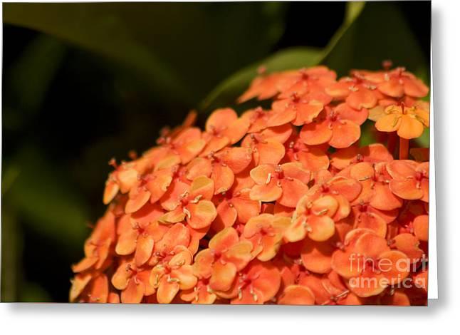 Ixora Flower Cluster Greeting Card