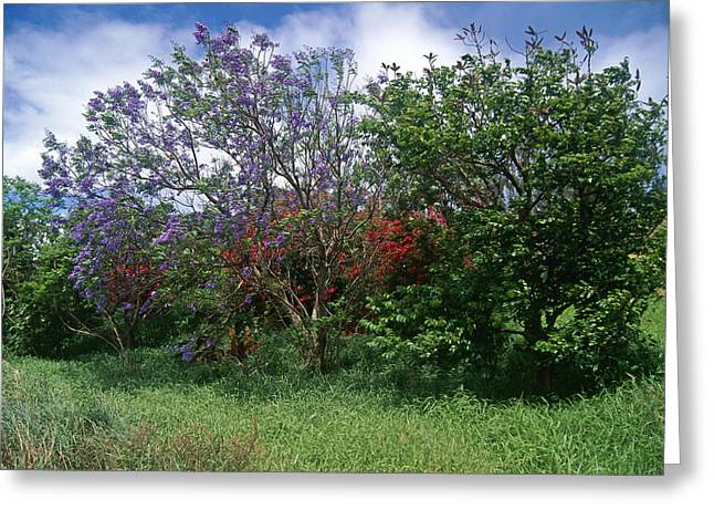 Jacarandra Tree Blooming In Maui Greeting Card by George Oze