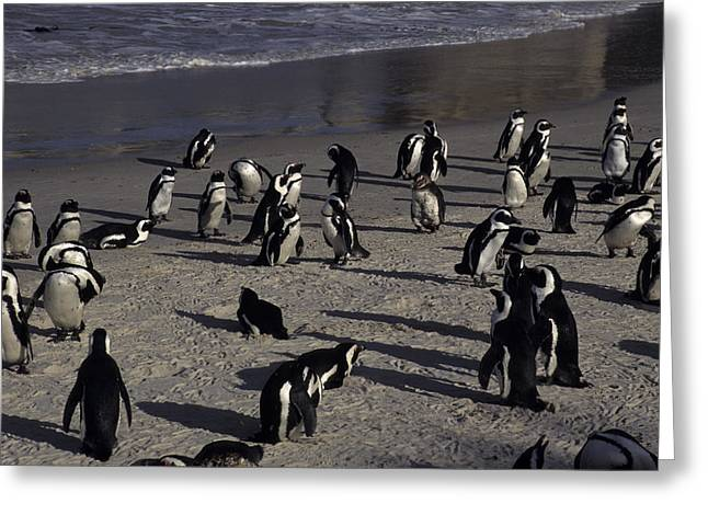 Jackass Penguins On The Beaches Greeting Card by Stacy Gold