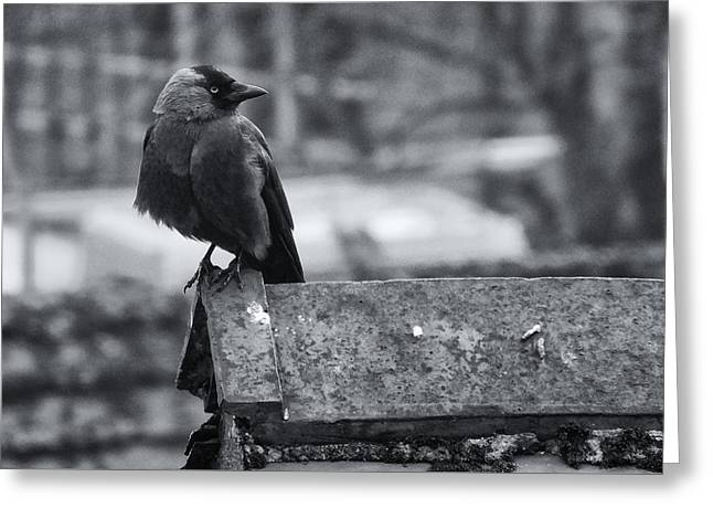 jackdaw on the Roof Greeting Card