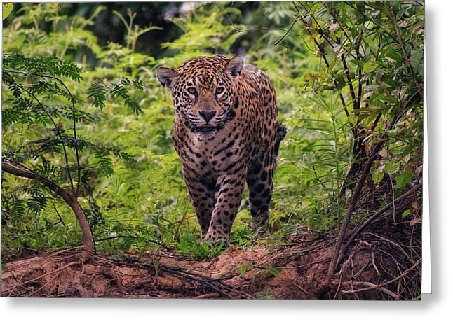Greeting Card featuring the photograph Jaguar      by Wade Aiken