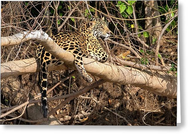 Greeting Card featuring the photograph Jaguar In Repose by Wade Aiken