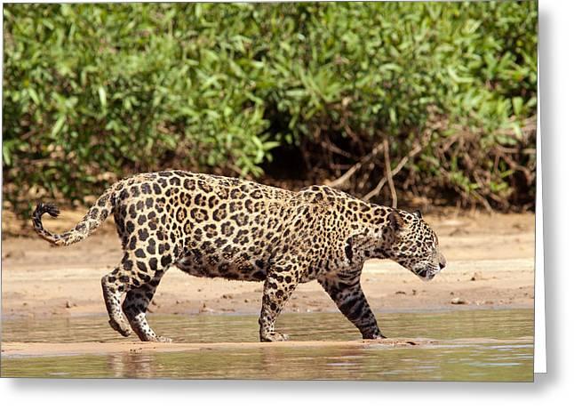 Jaguar Walking On A River Bank Greeting Card