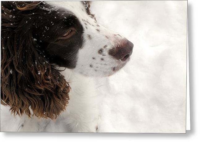 January Spaniel - English Springer Spaniel Greeting Card
