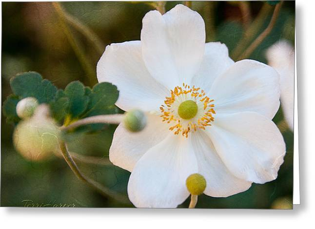 Japanese Anemone Greeting Card