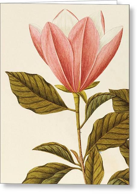 Japanese Bigleaf Magnolia Greeting Card by Angela Rossi Bottione