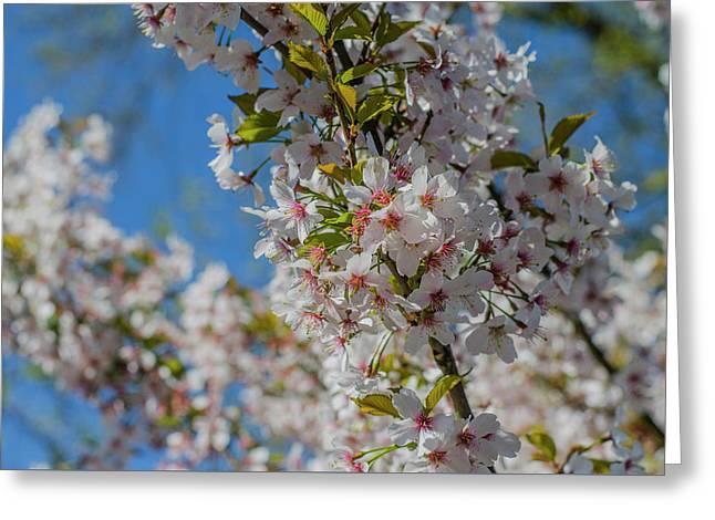 Japanese Cherry  Blossom Greeting Card by Daniel Precht