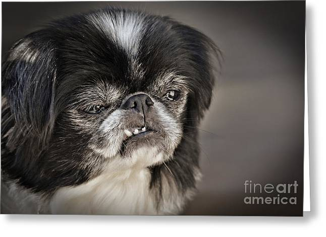 Japanese Chin Doggie Portrait Greeting Card by Jim Fitzpatrick