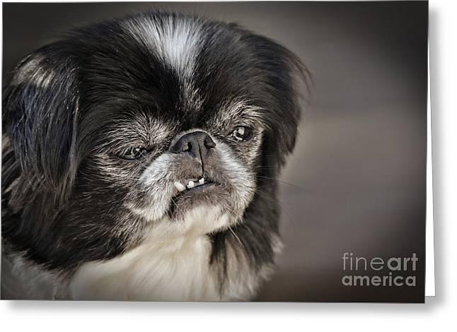 Japanese Chin Doggie Portrait Greeting Card
