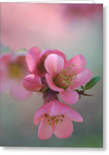 Japanese Flowering Quince Greeting Card