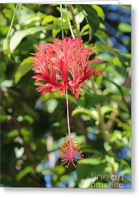 Japanese Lanterns Hibiscus Greeting Card