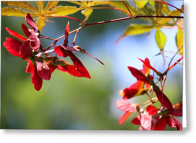 Japanese Maple 1782 Greeting Card by Carolyn Stagger Cokley