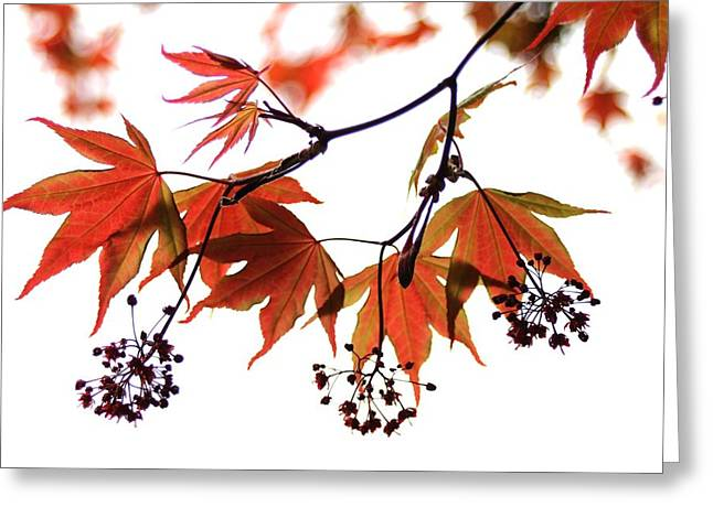 Japanese Maple 2011-2 Greeting Card