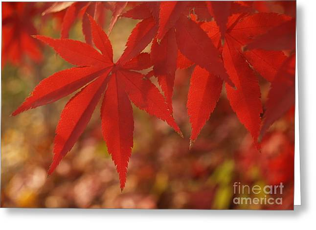 Japanese Maple In Afternoon Greeting Card by Anna Lisa Yoder