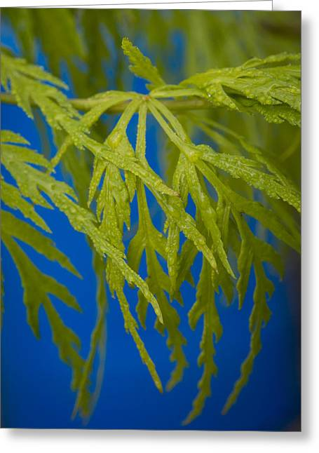 Japanese Maple Leaves Greeting Card by Jean Noren