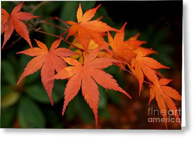 Japanese Maple Leaves Greeting Card